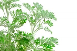 Artemisia absinthium (absinthium, absinthe wormwood,