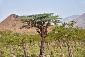 Frankincense Trees, Boswellia sacra, olibanum tree