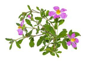 Rockrose or Cistus albidus, rose of sharon