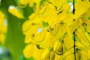 Cassia biblical oil