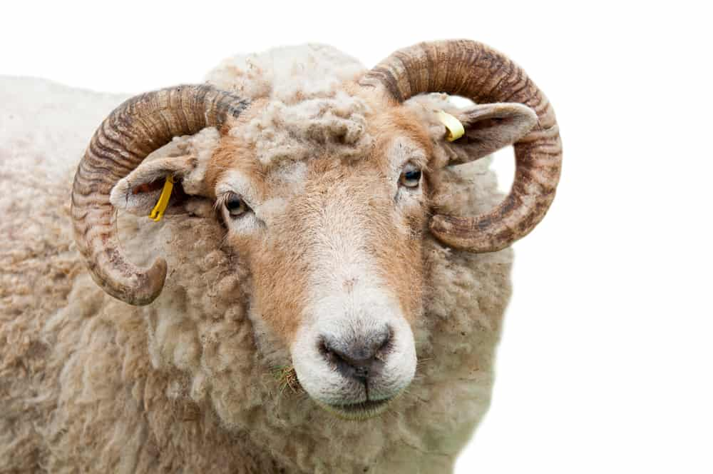 sweet expression on a sheep with horns (isolated on white background); animals mentioned in the Bible