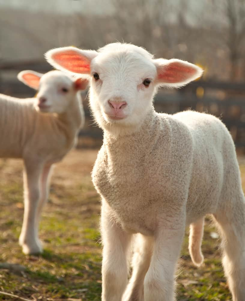 Two cute lambs posing; animals mentioned in scripture