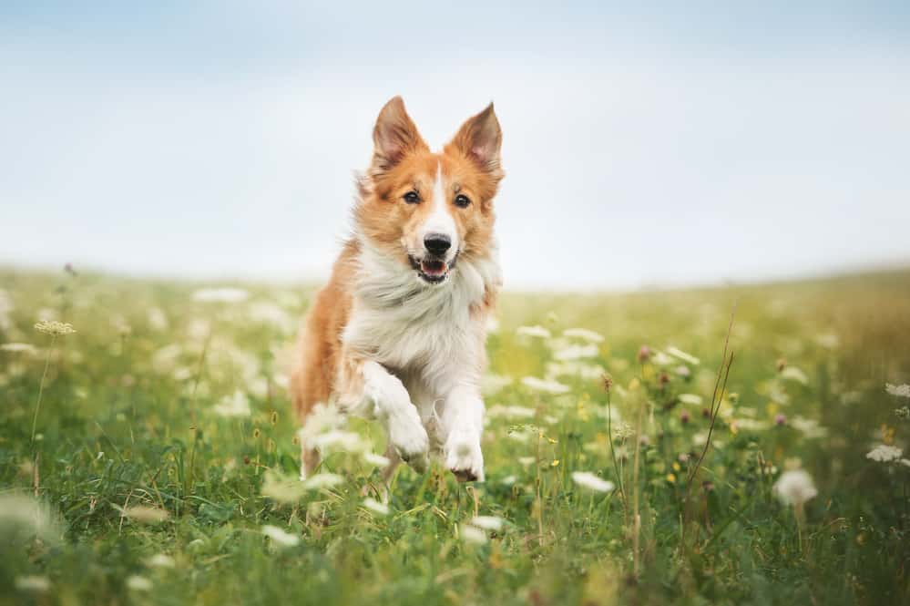 Red border collie dog running in a meadow, summer; animals of the Bible